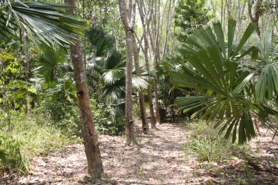 Agroforest - palms etc - Thailand IMG_7751.JPG