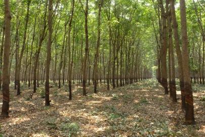 Industrial monoculture - Cambodia - P1150408.JPG