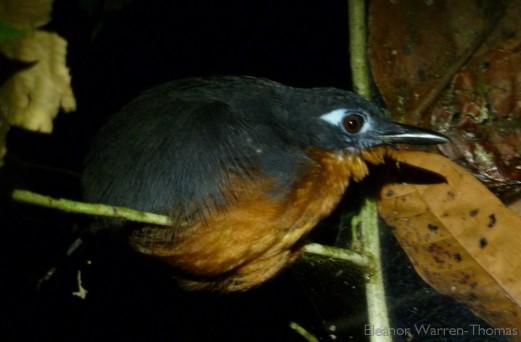 p1010668-plumbeous-antbird-female_iquitos